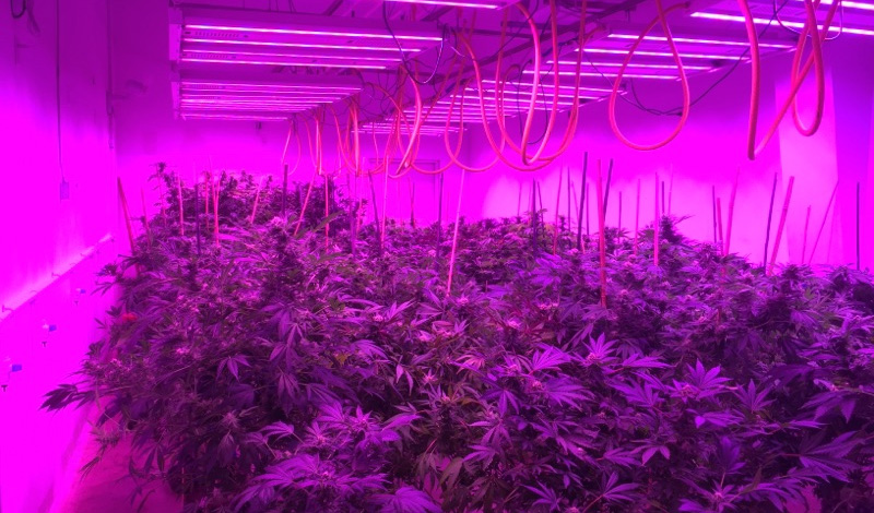 How does LED Grow Light affect the growth rate of cannabis?